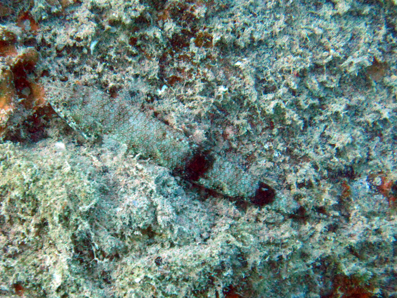 Sierlijke hagedisvis | Slender lizardfish | Saurida gracilis | Balena | 14-09-2009