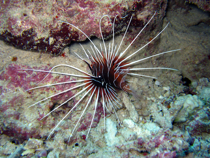 Sierlijke koraalduivel | Clearfin lionfish | Pterois radiata | Erg Abu Ramada > Cave Abu Ramada | 24-03-2010