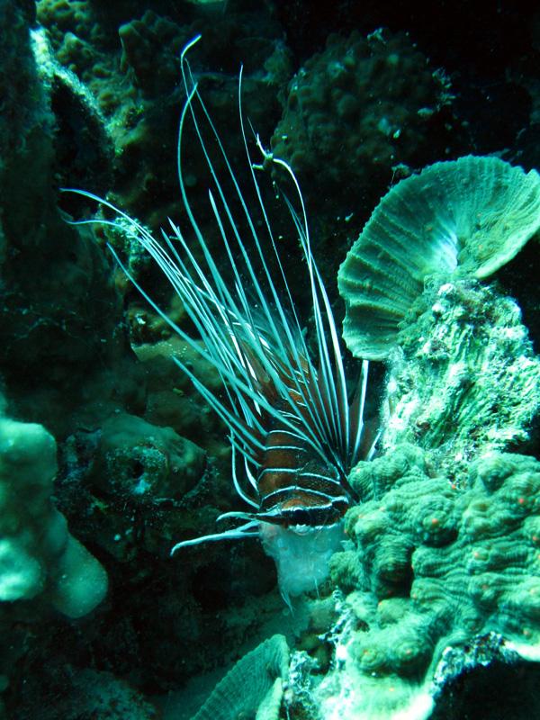 Sierlijke koraalduivel   Clearfin lionfish   Pterois radiata   Fanous Oost   20-09-2009