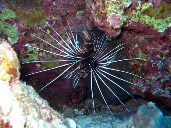 Sierlijke koraalduivel | Clearfin lionfish | Pterois radiata | Fanous Oost | 22-01-2011