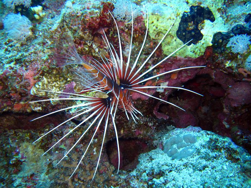 Sierlijke koraalduivel | Clearfin lionfish | Pterois radiata | Gota Abu Ramada Oost | 24-01-2011