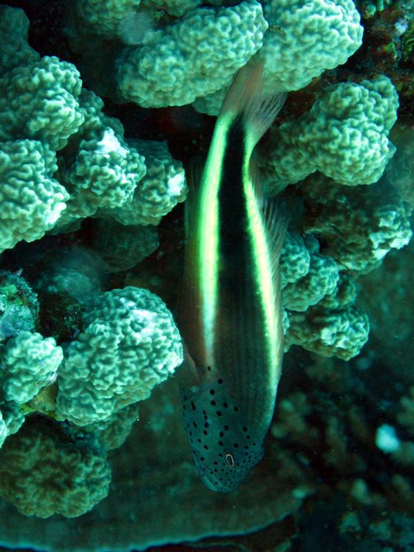Slanke koraalklimmer | Freckled hawkfish | Paracirrhites forsteri | Ben el Gebel | 21-09-2009