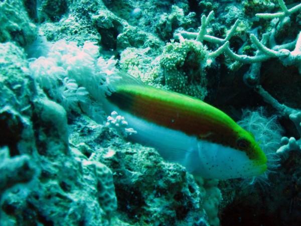 Slanke koraalklimmer   Freckled hawkfish   Paracirrhites forsteri   Erg Abu Ramada   22-09-2009