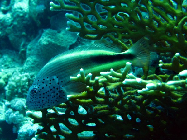 Slanke koraalklimmer | Freckled hawkfish | Paracirrhites forsteri | Erg Abu Ramada | 22-09-2009