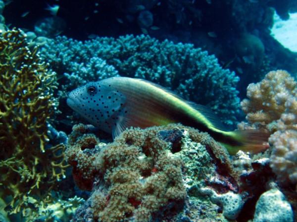 Slanke koraalklimmer   Freckled hawkfish   Paracirrhites forsteri   Gota Abu Ramada Oost   28-06-2010