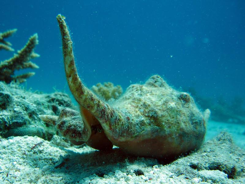 Spinkroonslak | Massive Spider Conch | Lambis truncata sebae | Shaab el Erg | 20-09-2009