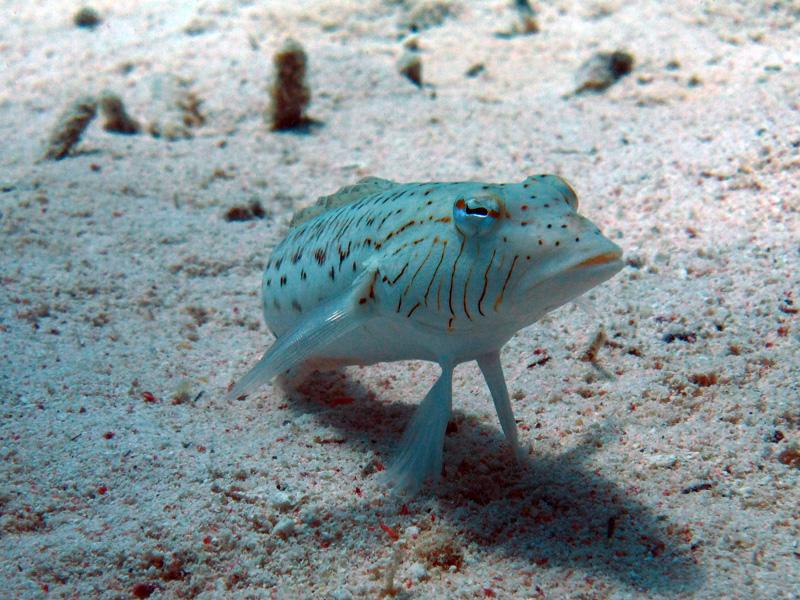 Speckled sandperch | Parapercis hexophthalma | Abu Hashees | 18-09-2009