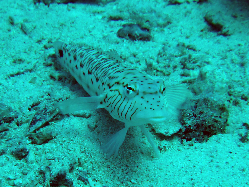 Speckled sandperch | Parapercis hexophthalma | Shaabrurh Umm Gamar | 21-01-2011
