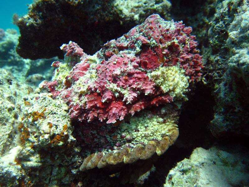 Echte Steenvis | Stonefish | Synanceia verrcosa | Marsa Abu Galawa (Snorkeltrip) | 29-06-2010
