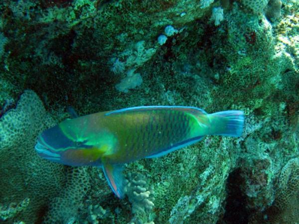 Stierkoppapegaaivis   Bullethead parrotfish   Chlorurus sordidus   Abu Ramada Zuid - Hurghada - Egypte   15-09-2009