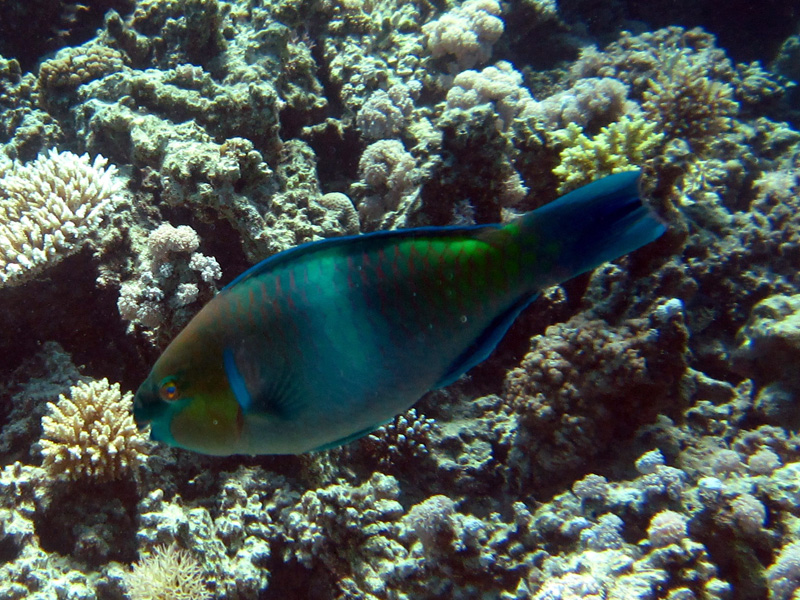 Stierkoppapegaaivis   Bullethead parrotfish   Chlorurus sordidus   Turtle Bay   27-06-2010