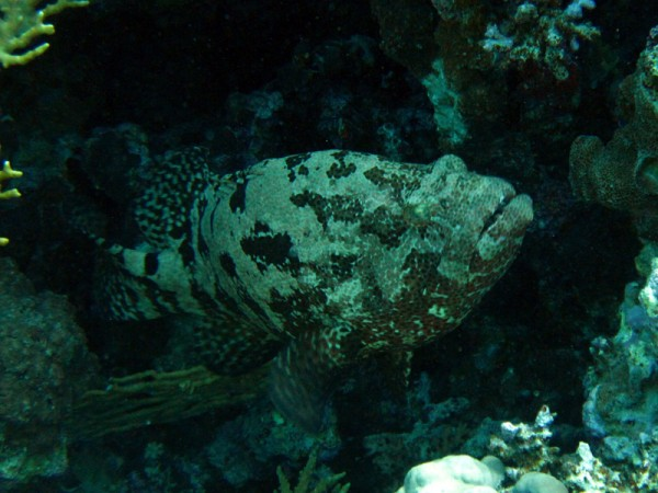 Stierkoptandbaars | Brown-marbled grouper | Epinephelus fuscogattatus | Shaab Sabina | 25-03-2010