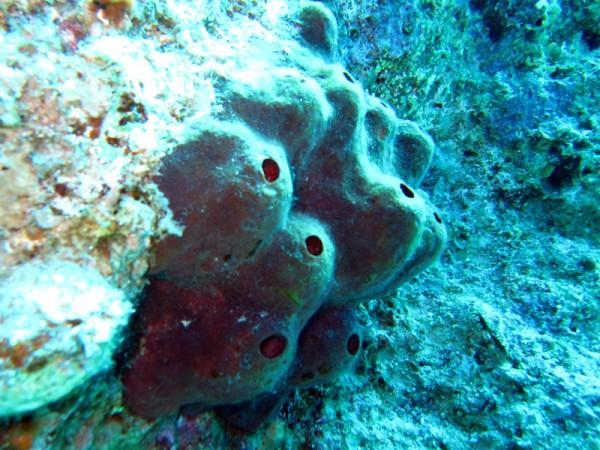 Swinhoe's spons   Swinhoe's sponge   Theonella swinhoe   Bananareef   08-05-2011