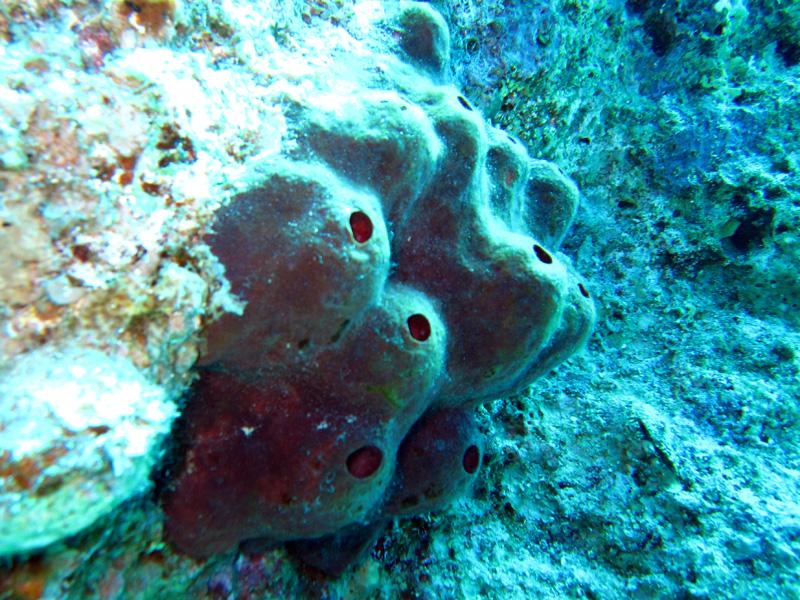 Swinhoe's spons | Swinhoe's sponge | Theonella swinhoe | Bananareef | 08-05-2011