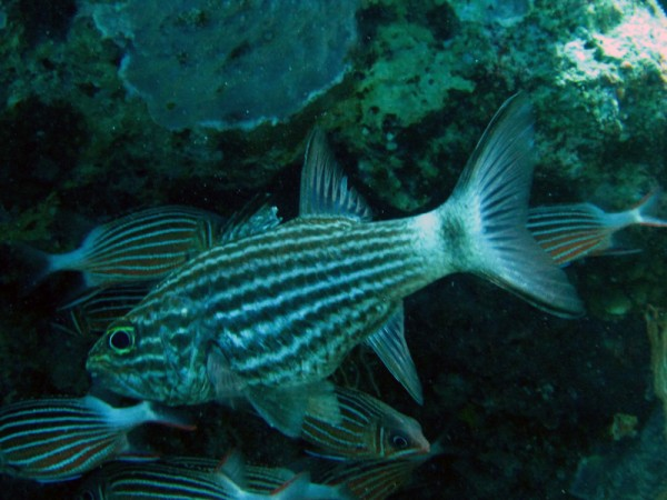 Tijgerkardinaalbaars | Tiger cardinalfish | Cheilodipterus macrodon | Erg Abu Ramada Oost | 25-06-2010