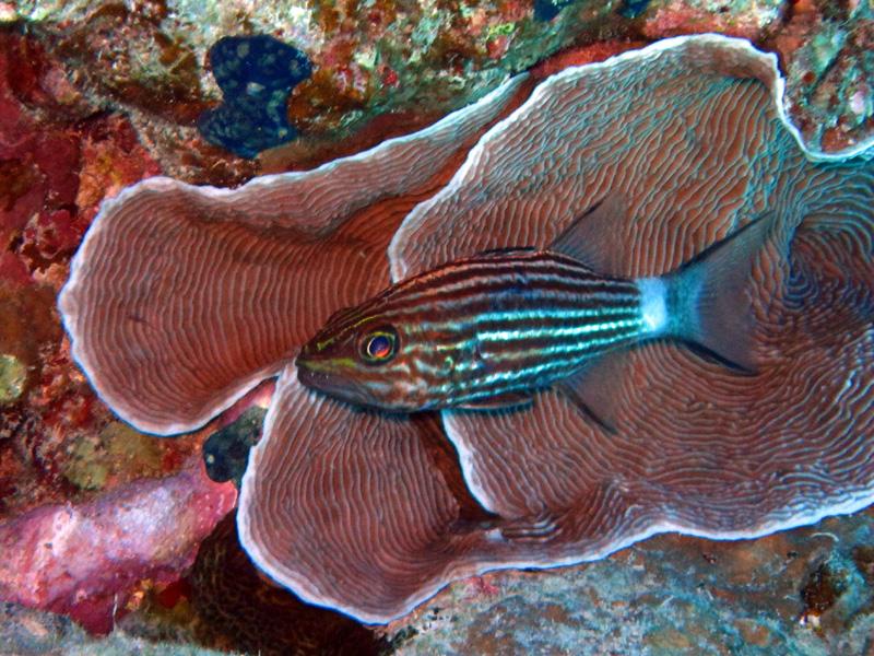Tijgerkardinaalbaars bij LP-koraal | Tiger cardinalfish | Cheilodipterus macrodon | Ben el Gebel | 21-03-2010