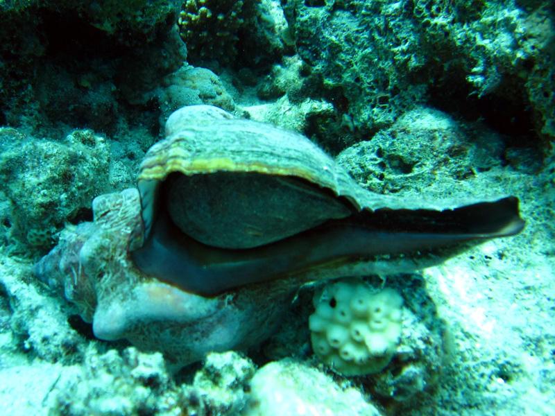 Trapezoide paardenslak | Trapezium Horse Conch | Pleuroploca trapezium | Shaab el Erg | 20-09-2009