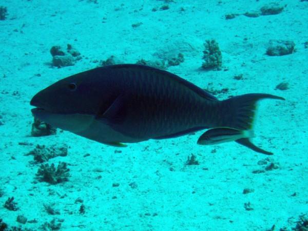 Tweekleuren-papegaaivis   Bicolor parrotfish   Cetoscarus bicolor   Small Giftun   22-03-2010