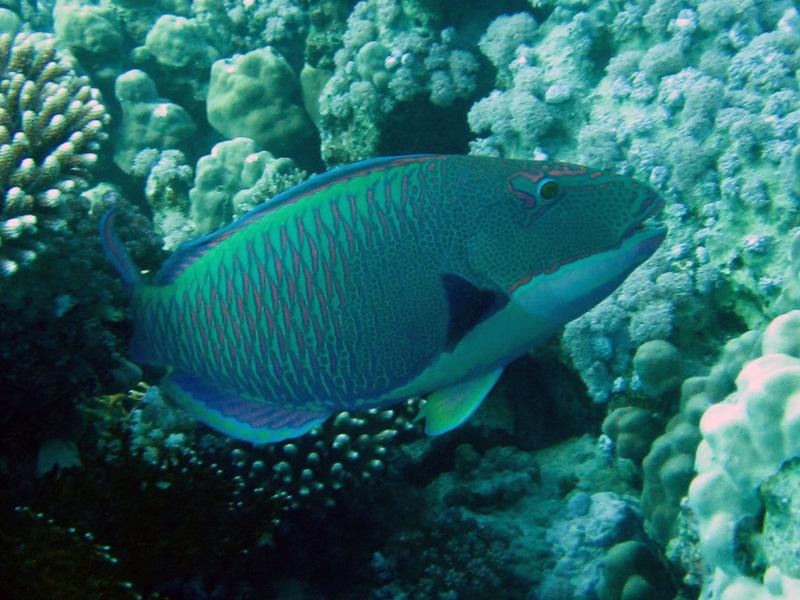 Tweekleurenpapegaaivis | Bicolor parrotfish | Cetoscarus bicolor | Small Giftun | 23-01-2011