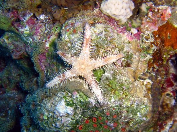 Veelstekelige kamster | Sand sifting starfish | Astropecten polyacanthus | Gota Abu Ramada West | 24-01-2011