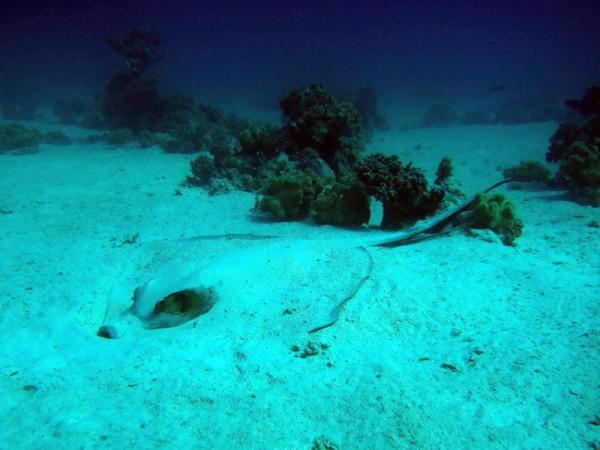 Veerstaartpijlstaartrog   Fantail stingray   Pastinachus sephen   Fanadir Garden   22-01-2011