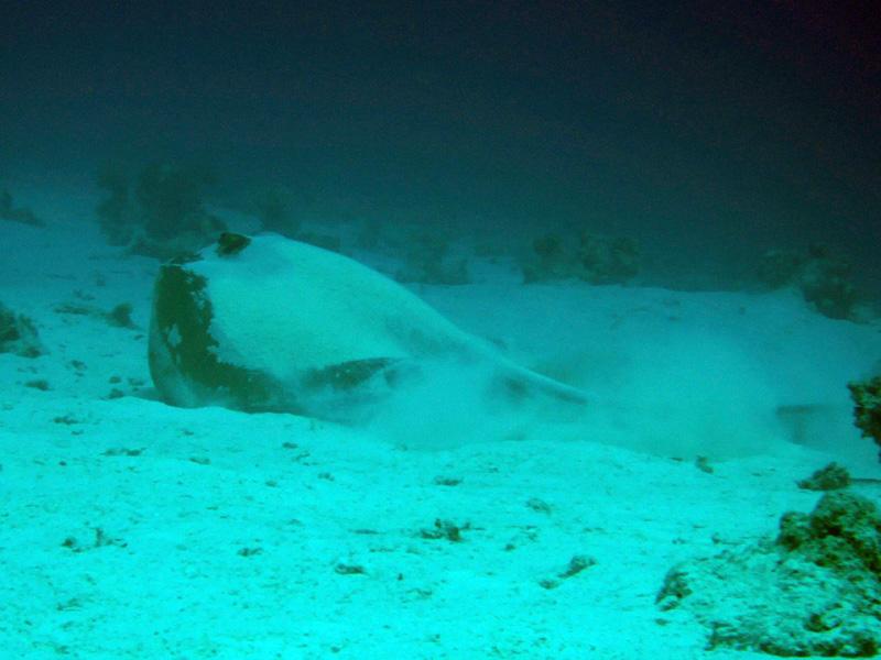 Veerstaartpijlstaartrog | Fantail stingray | Pastinachus sephen | Fanadir Zuid | 23-03-2010