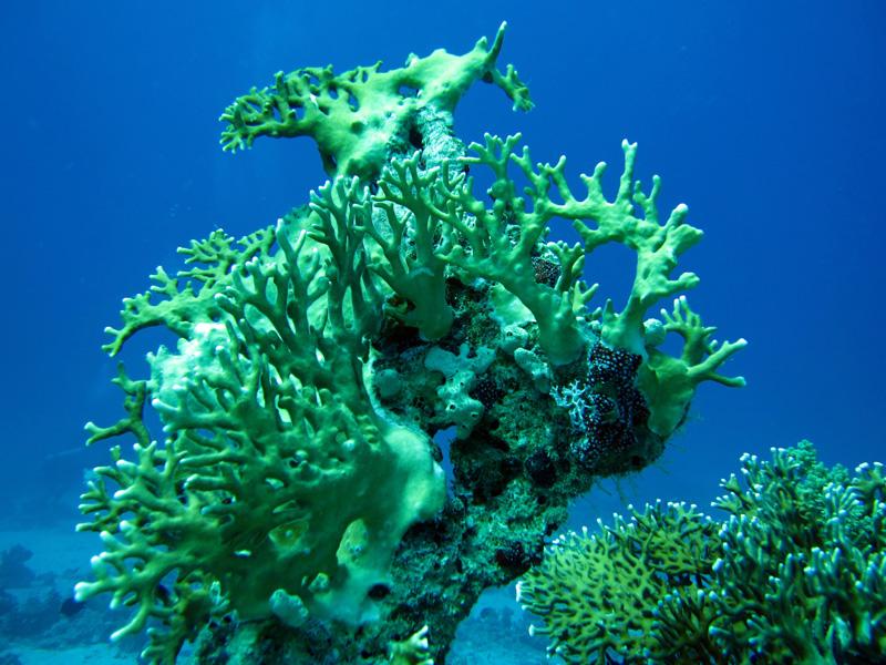 Vertakkend vuurkoraal | Net fire coral | Millepora dichotoma | Bananareef | 08-05-2011