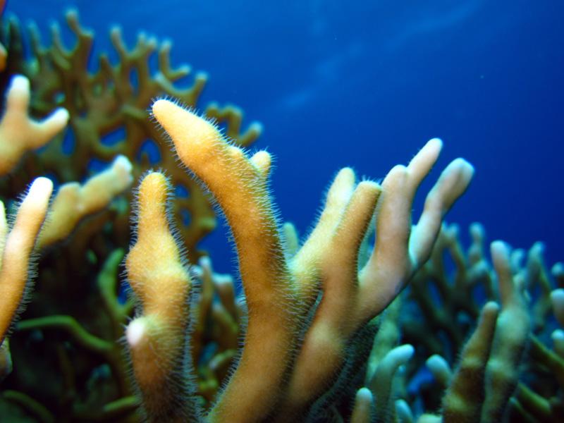 Vertakkend vuurkoraal   Net fire coral   Millepora dichotoma   Shaab Sabina   25-03-2010