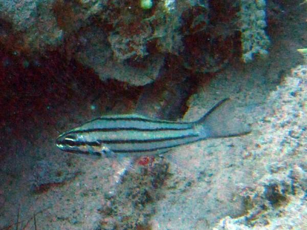 Vijflijnenkardinaalvis | Fiveline cardinalfish | Cheilodipterus quinquelineatus | Balena | 14-09-2009