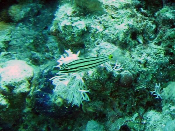 Vijflijnenkardinaalvis   Fiveline cardinalfish   Cheilodipterus quinquelineatus   Fanous West   24-06-2010
