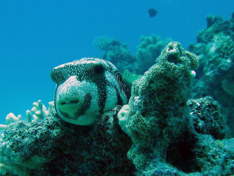 Witgevlekte kogelvis | Whitespotted puffer | Arothron hispidus | Abu Ramada Zuid | 26-06-2010