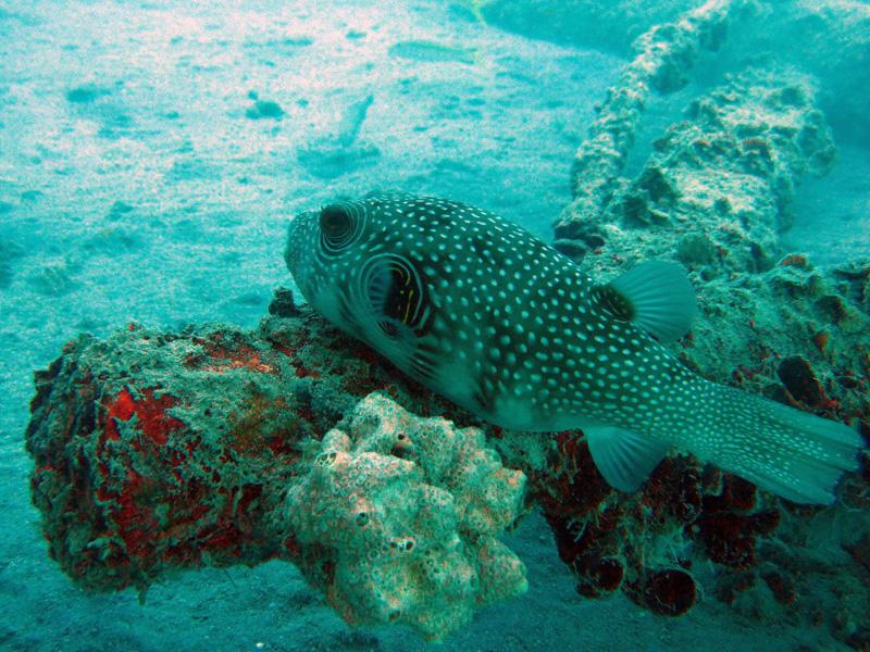 Witgevlekte kogelvis | Whitespotted puffer | Arothron hispidus | Balena | 14-09-2009