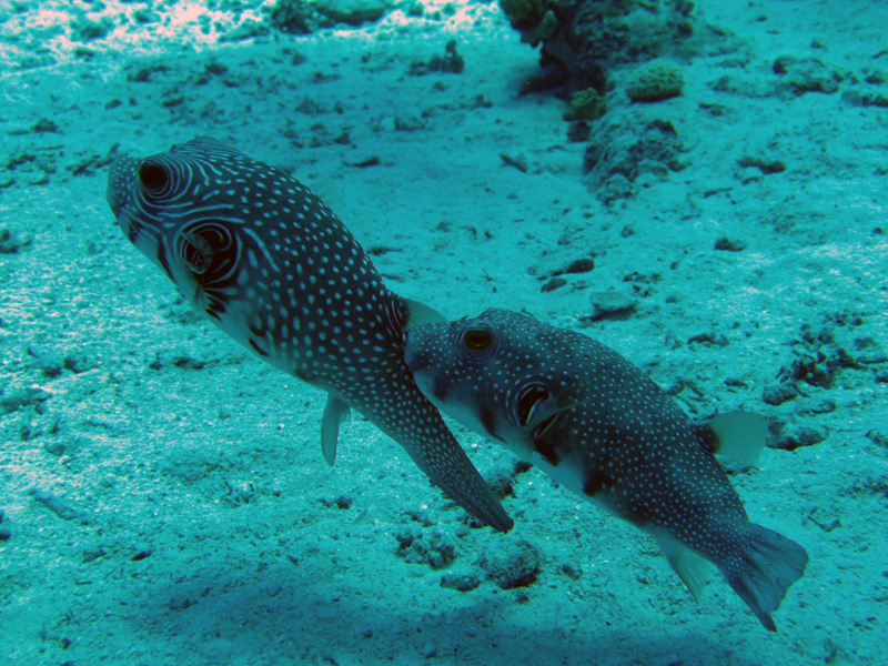 Witgevlekte kogevissen doen paringsdans | Whitespotted puffer | Arothron hispidus | Ben El Gebel | 26-06-2010