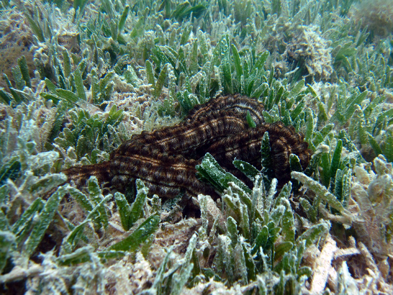 Wormzeekomkommer | Sticky snake sea cucumber | Synapta maculata | Fanadir Zuid | 24-06-2010