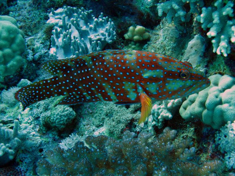 Zesstreeptandbaars | Sixspot grouper | Cephalopholis sexmacolata | Gota Abu Ramada | 15-09-2009