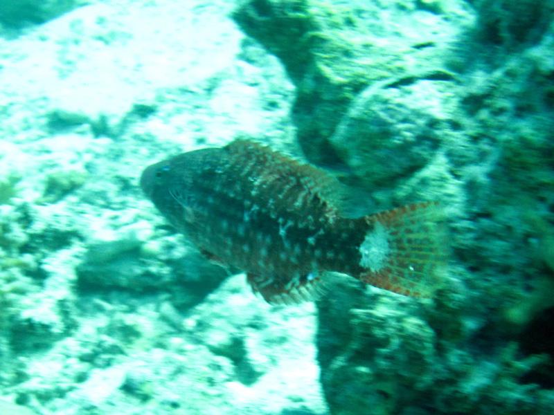 Zijdestreeplipvis | Mental wrasse | Oxychelinus mentalis | Fanadir Garden | 22-01-2011