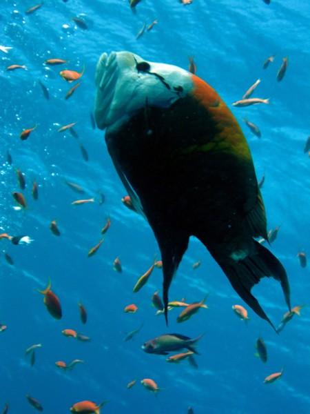 Zuigbuislipvis   Slingjaw wrasse   Epibulus insidiator   Gota Abu Ramada   15-09-2009