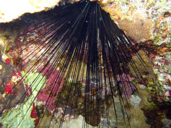 Zwarte diadeemzee-egel | Longspine black urchin | Echinotrix diadema | Gota Abu Ramada West | 24-01-2011