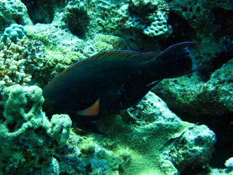 Zwarte papegaaivis | Dusky parrotfish | Scarus niger | Erg Abu Ramada | 22-09-2009