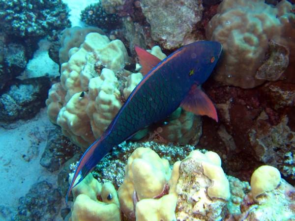 Zwarte papegaaivis | Dusky parrotfish | Scarus niger | Gota Abu Ramada Oost | 23-09-2009