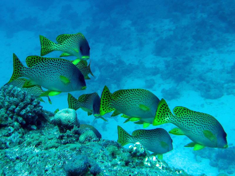 Zwartgespikkelde (of Afrikaanse) diklipvis | Blackspotted sweetlips | Plectorhinchus gaterinus | Abu Ramada Zuid | 09-05-2010