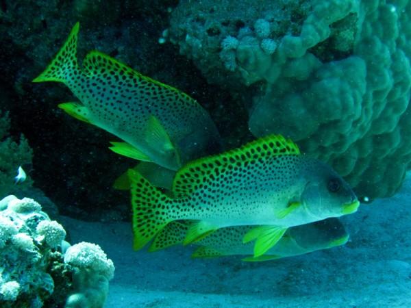 Zwartgespikkelde diklipvis (ook wel Afrikaanse diklipvis genoemd) | Blackspotted sweetlips | Plectorhinchus gaterinus | Gota Abu Ramada | 15-09-2009