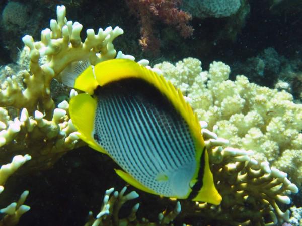 Zwartrugkoraalvlinder | Blackbacked butterflyfish | Chaetodon melannotus | Ben el Gebel | 21-09-2009