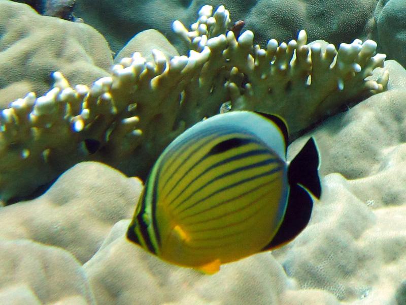 Zwartstaartkoraalvlinder | Exquisite butterflyfish | Chaerodon austriacus | Gota Abu Ramada Oost | 28-06-2010