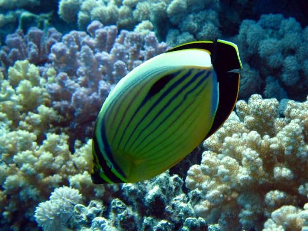 Zwartstaartkoraalvlinder | Exquisite butterflyfish | Chaerodon austriacus | Small Giftun | 22-03-2010