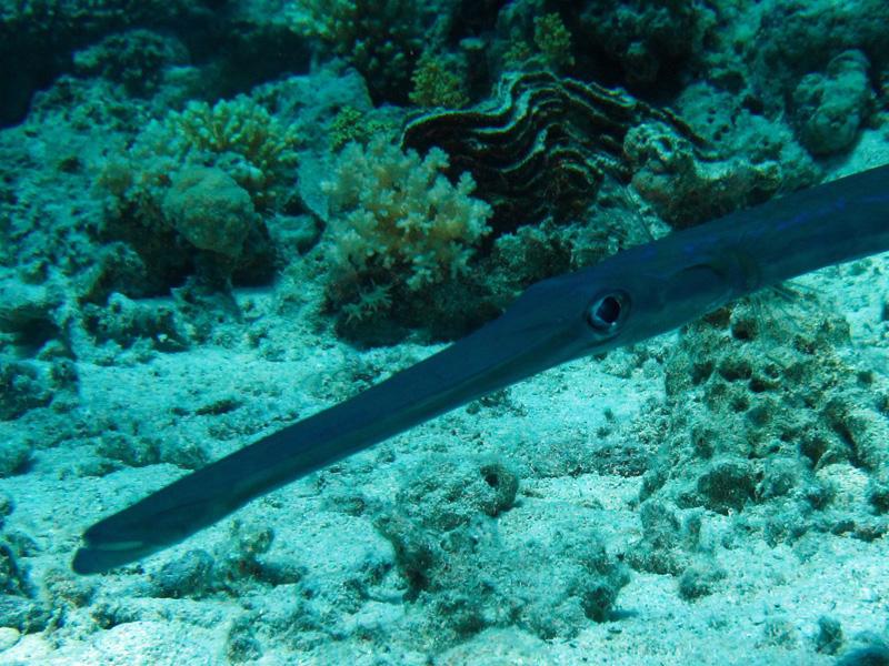 Fluitvis | Smooth cornerfish | Fistularia commersonii | Shaab Sabina | 23-06-2010