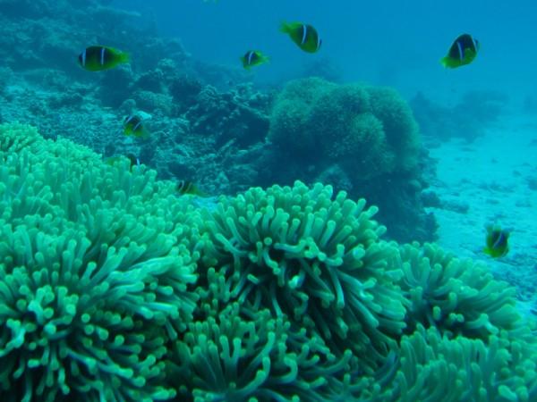 Schitterende anemoon   Ritteri anemone   Heteractis magnifica   Ben el Gebel   21-09-2009